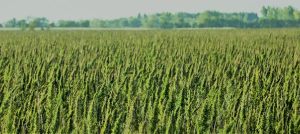 Field of Hemp - CBD